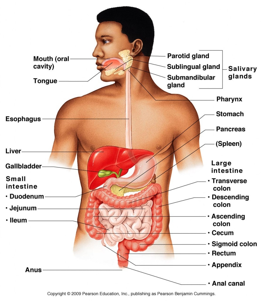 Anatomy test review ms damarjian biology organ system quizlet httpsquizlet13960812organ systems flash cards heart labeling game httpspurposegamesgamethe heart quiz ccuart